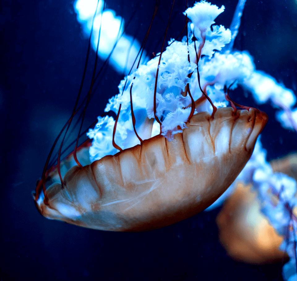 Jellyfis 5