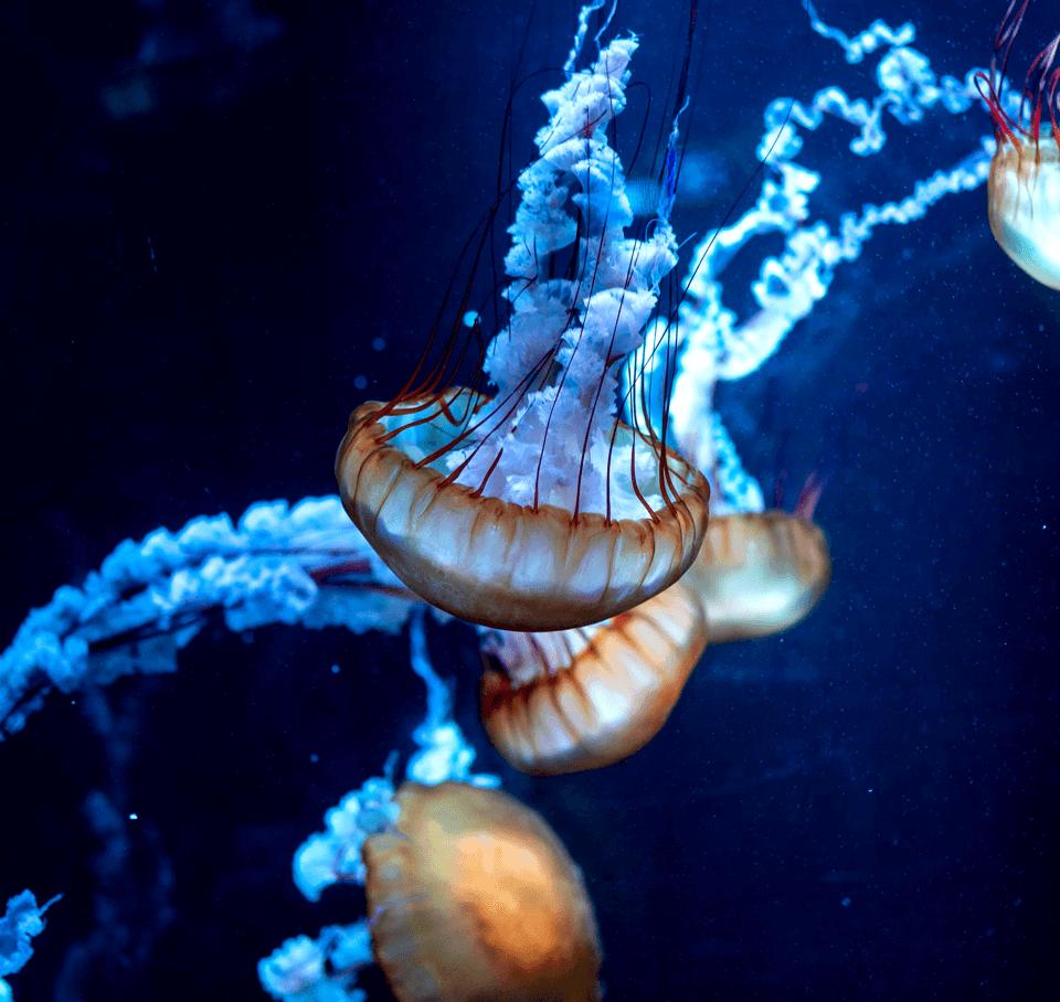Jellyfis 6
