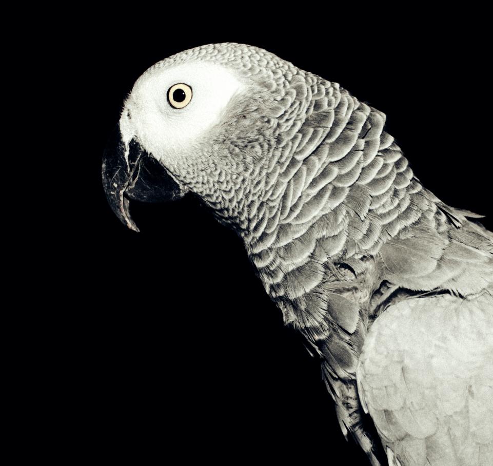 Parrot 18